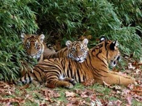 Flora e fauna bangladesh asia meridionale asia for Bengala asia